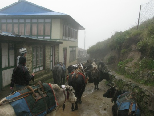 Everest Base Camp Trek- Cows Yaks