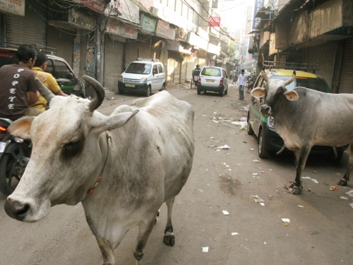 Pahar Ganj, Delhi - Street Cows
